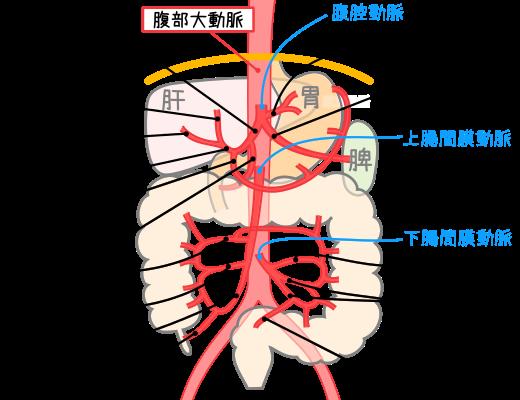 大動脈の流れと分岐‐見て!わか...