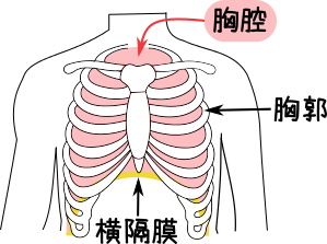 「胸郭」の画像検索結果