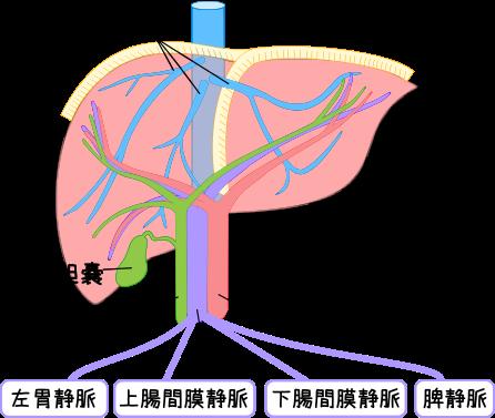 肝臓の構造と働き‐見て!わかる!解剖生理【花子のまとめ ...