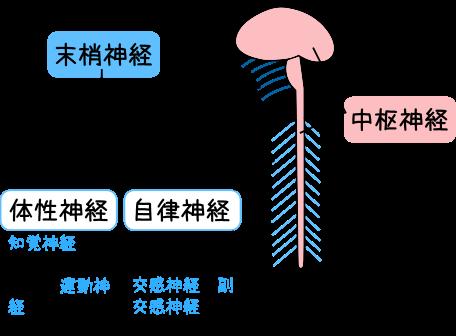 脊髄神経の働きと構造‐見て!わかる!解剖生理【花子の ...
